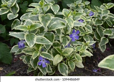 Vinca major Variegata - bigleaf periwinkle with beautiful deep blue flowers and white marked leaves