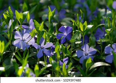 Vinca minor (common names lesser periwinkle, dwarf periwinkle, small periwinkle, common periwinkle) is a species of flowering plant native to central and southern Europe.
