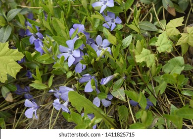 Vinca minor (common names lesser periwinkle, dwarf periwinkle, small periwinkle, common periwinkle) is a species of flowering plant native to central and southern Europe