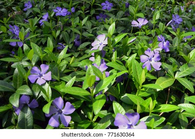 Vinca minor in the ground