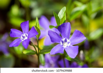 Vinca minor lesser periwinkle flowers, common periwinkle in bloom, ornamental creeping flowers, two flower heads