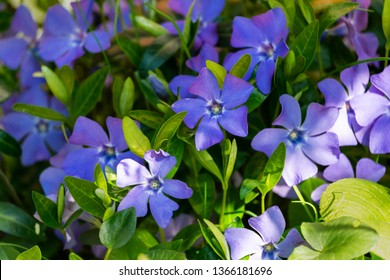 Vinca minor (lesser periwinkle, small periwinkle, common periwinkle) grows equally well in wild forest and in well-kept garden. Blue flowers on bright green background - spring garden decoration