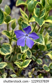 Vinca minor, periwinkle flower in bloom,  spring.