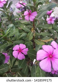 vinca roseus orCatharanthus roseus, commonly known as the Madagascar periwinkle, rose periwinkle, or rosy periwinkle, is a species of flowering plant in the dogbane family Apocynaceae.