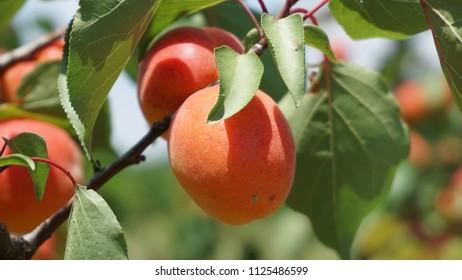 Vincas France July 2018 Apricots growing