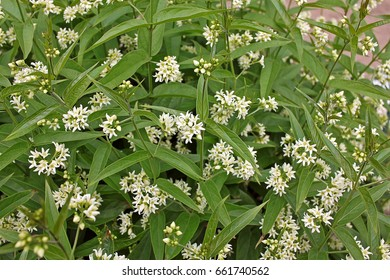 Vincetoxicum hirundinaria, commonly named white swallow-wort. Drugs made chiefly from the rootstock of the plant have also been used in treating diseases and ailments