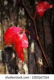 A vine climbing on a cypress tree trunk has bright red leaves and is dripping wet from recent rain.