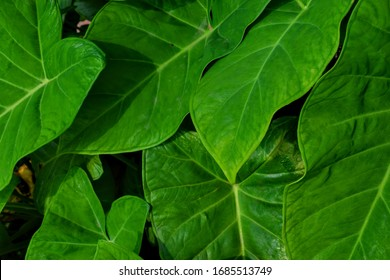 vine of colocasia leaves stock photo