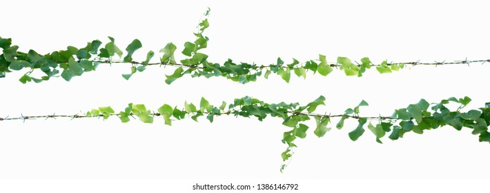 Vine creeper plant on a pole on a white isolated background