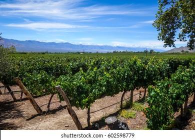 vine field landscape in cafayate, Salta, Argentina