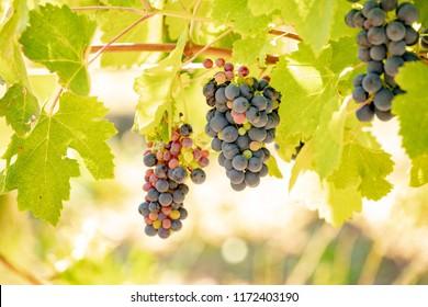 Vine Grape Closeup