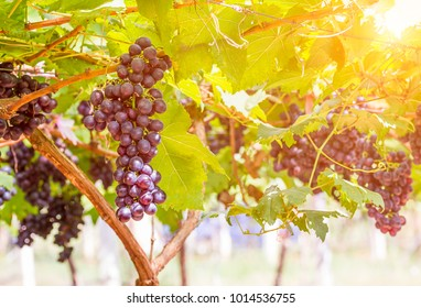 Vine grape fruit plants outdoors by sunset,Red grapes in the vineyard ready for harvest
