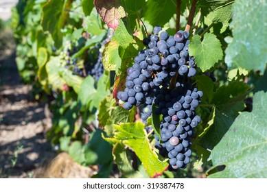 Vine grapes in Champagne region, France