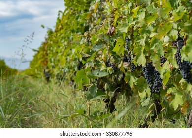 vine grapes in the vineyard during harvest, Kakheti, Georgia