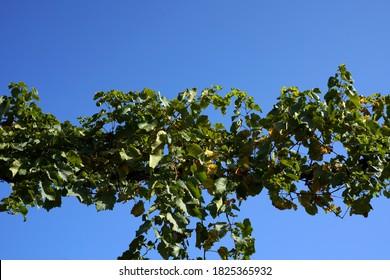 Vine grapevine against a blue sky