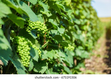 Vine green grape in champagne vineyards at montagne de reims, France