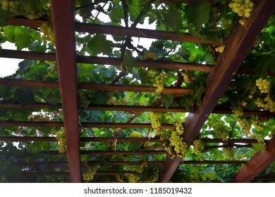 Vine green grapes view from below