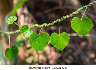 The vine with green leaves of Heart leaved moonseed (Tinospora Crispa (L.) Hook. f. & Thomson) is crawling with the tree in the tropical forest of Thailand