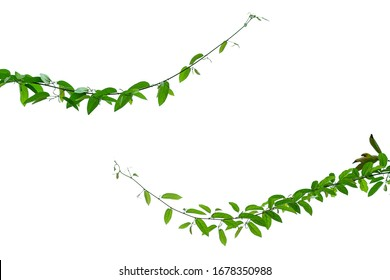 The vine with green leaves twisted separately on a white background.