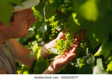 Vine grower is checking white grapevine in the vineyard by sunny weather on sunset