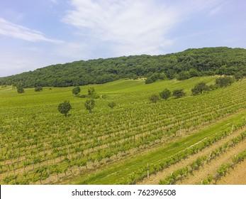 Vine growing in Jois, Austria, Burgenland, Northern Burgenland