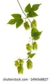 Vine with hops (Humulus lupulus) isolated on white background