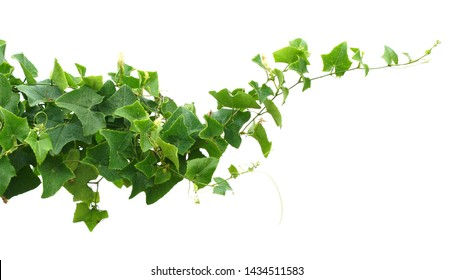 vine ivy plant isolate on white background