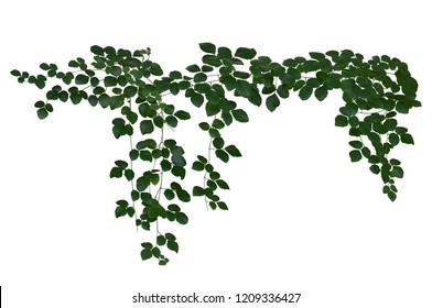 Vine jungle branches hanging. Climber isolated on white background with clipping path included.