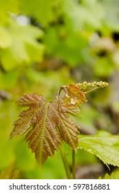 Vine leaf and grape flower