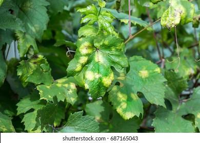 Vine leaves affected by fungal disease, downy Mildew, false mildew ( Plasmopara viticola  )