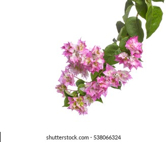 Vine leaves bougainvilleas flower isolated on white isolated background