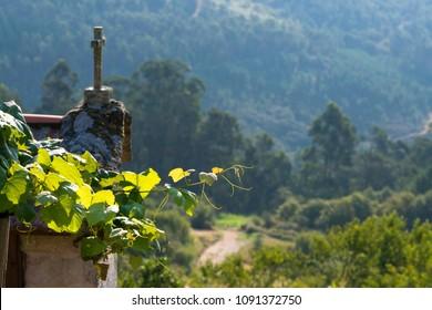 Vine leaves in Galicia (Spain)