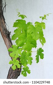vine leaves - grapes