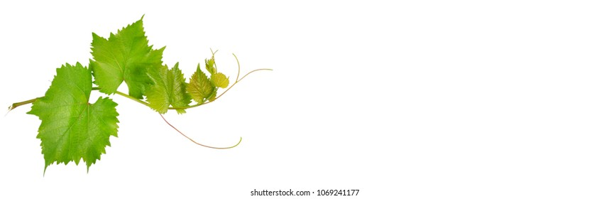 Vine and leaves isolated on white background. Free space for text. Wide photo.