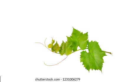 Vine and leaves isolated on white background. Free space for text.