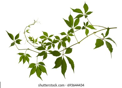 Vine with leaves isolated on white background
