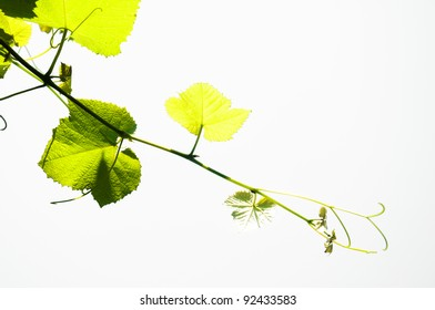 A vine leaves isolated on white background.