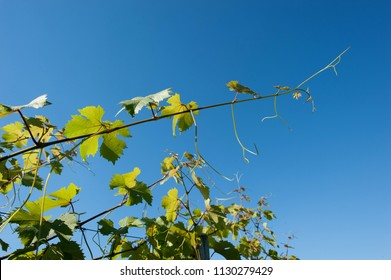 vine leaves in the middle of summer