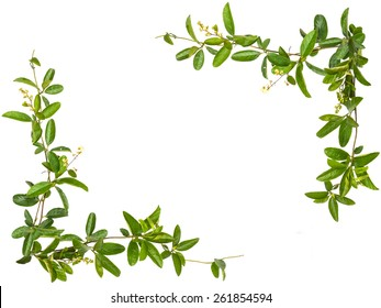 Vine leaves with small flower frame isolated on white background