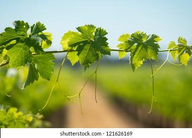 Vine leaves in a vineyard
