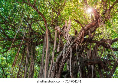vine and lianas around a giant old tree against the sunlight