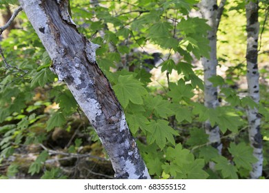 Vine maple in the forest
