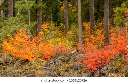 Vine maple trees at peak fall color along the Santiam highway near the sumit of the Santiam pass.  Also Douglas fir trees in the background.