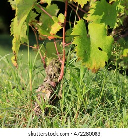vine in morning