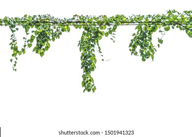 Vine on a pole on a white background