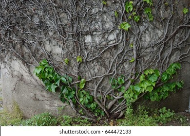 Vine on Wall