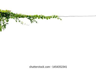 vine on wire background white