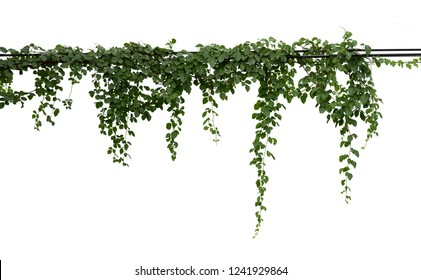 Vine plant branches hanging. Tropical plant isolated on white background have clipping path
