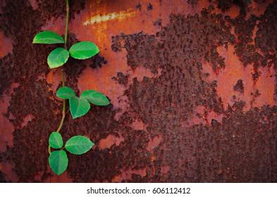 A vine plant climb on the rust