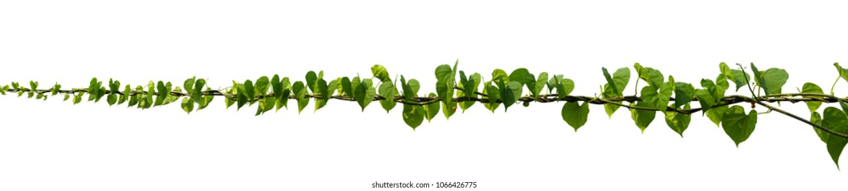 vine plant climbing isolated on white background. Clipping path